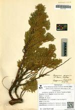 Juniperus sargentii (A. Henry) Takeda ex Nakai