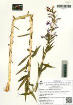 Lobelia sessilifolia Lamb.