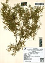 Juniperus rigida Siebold & Zucc.