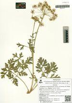 Kitagawia terebinthacea (Fisch. ex Spreng.) M. Pimen.