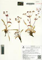 Bupleurum triradiatum Adams ex Hoffm.