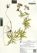 Aconitum karafutense Miyabe & Nakai