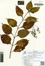 Rabdosia glaucocalyx (Maxim.) Probat.