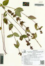 Clinopodium chinense (Benth.) Kuntze
