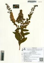 Spiraea salicifolia L.