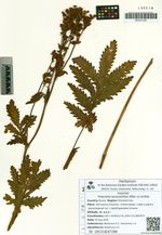 Potentilla tanacetifolia Willd. ex Schltdl.