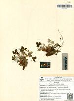 Potentilla uniflora Ledeb.