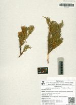 Juniperus pseudosabina Fisch. & C.A.Mey.
