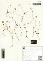 Hydrocotyle ramiflora Maxim.
