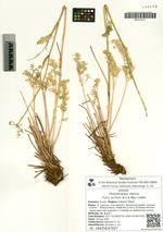 Phlojodicarpus villosus (Turcz. ex Fisch. et C.A. Mey.) Ledeb.