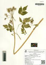 Angelica sachalinensis Maxim.