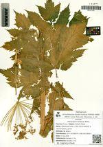 Heracleum lanatum Michx.