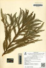 Cryptomeria japonica (Thunb. ex L.f.) D.Don