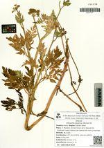 Oenanthe javanica (Blume) DC.