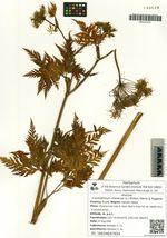 Conioselinum chinense (L.) Britton, Sterns & Poggenb.