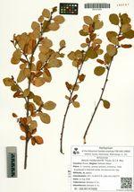 Betula middendorffii Trautv. & C.A. Mey.