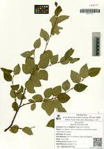 Betula fruticosa Pall.