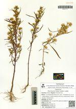 Brachyactis ciliata (Ledeb.) Ledeb.