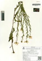 Boltonia lautureana Debeaux