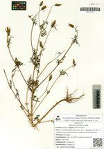 Bidens parviflora Willd.