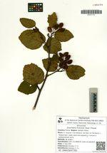 Duschekia fruticosa (Rupr.) Pouzar