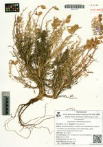 Oxytropis chankaensis Jurtz.