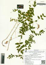 Vicia woroschilovii N.S.Pavlova