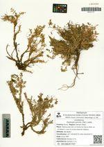 Oxytropis pumilio (Pall.) Ledeb.