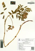 Hedysarum nonnae Roskov