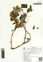 Hedysarum confertum (N.S. Pavlova) N.S. Pavlova