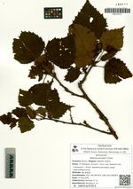 Betula ermanii Cham.