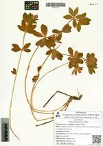 Trifolium pacificum Bobr.