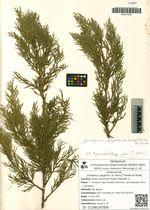 Juniperus sargentii (A. Henry) Takeda ex Koidz.