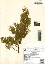 Juniperus chinensis L.