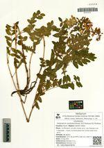 Hedysarum austrokurilense (N.S.Pavlova) N.S.Pavlova