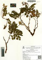 Hedysarum sachalinense B.Fedtsch.