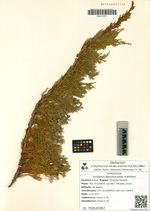 Juniperus davurica  subsp. maritima Urussov