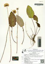 Leibnitzia anandria (L.) Turcz.