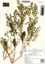 Astragalus schelichowii Turcz.