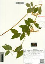Vicia ramuliflora (Maxim.) Ohwi