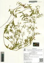 Lathyrus pilosus Cham.