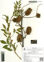 Glycyrrhiza pallidiflora Maxim.