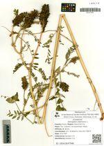 Astragalus uliginosus L.