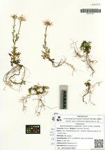 Dendranthema coreanum (Levl. & Van.) Lauener