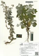 Artemisia lagocephala (Bess.) DC.