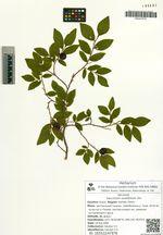 Vaccinium ovalifolium Sm.