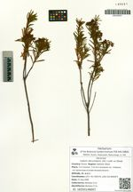 Ledum decumbens (Alt.) Lodd. ex Steud.
