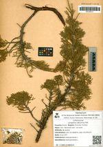 Juniperus davurica Pall.
