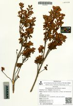 Rhododendron parvifolium Adams