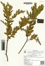 Chamaedaphne calyculata (L.) Moench